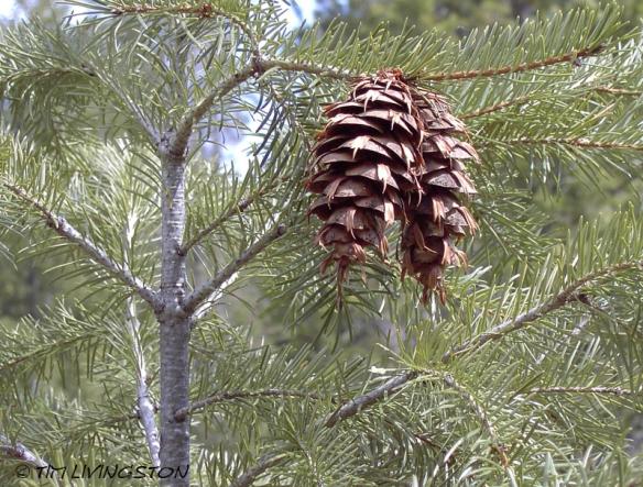 Douglas-fir, cones, Douglas-fir cones, forestry