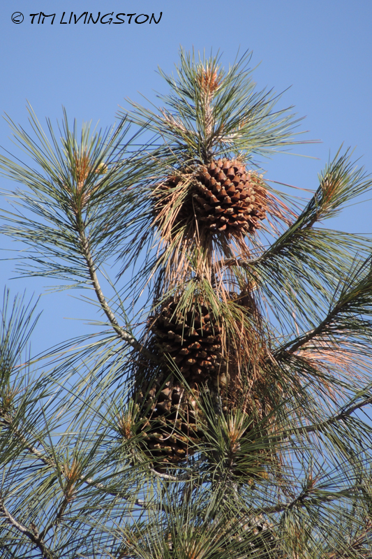cones, pine cones, gray pine, digger pine,, forestry