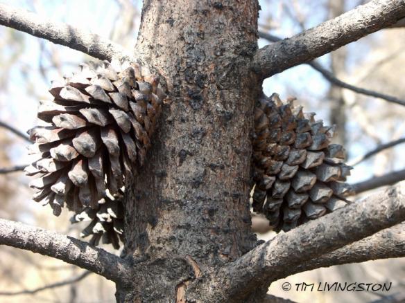 cones, pine cones, knobcone pine, forestry
