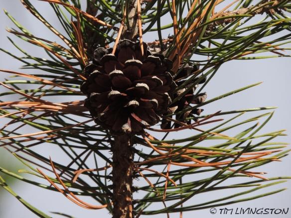 cones, pine cones, Lodgepole pine, forestry