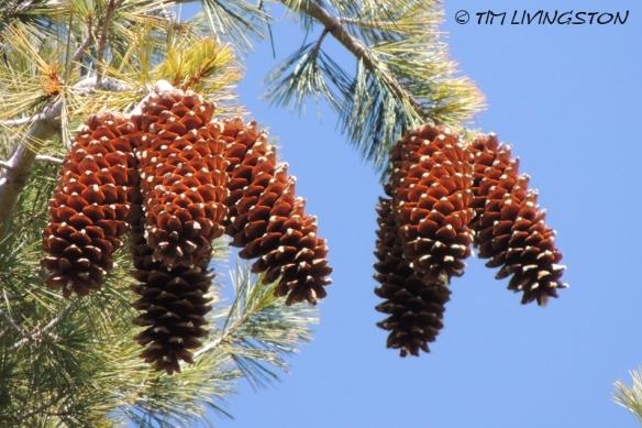 cones, pine cones, sugar pine, forestry