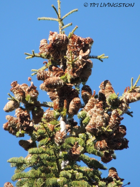 Cones, true fir, white fir, fir cones