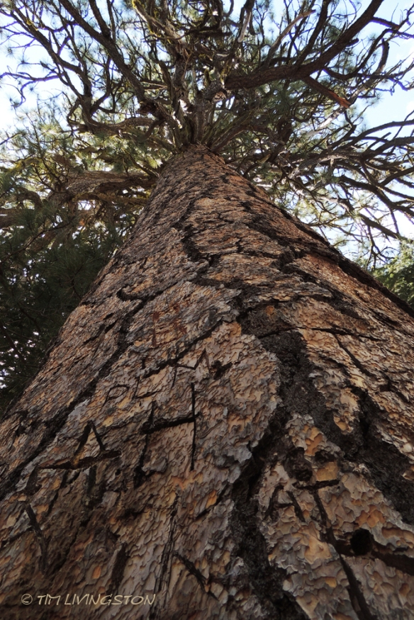 Forestry, Ponderosa pine, forest giant