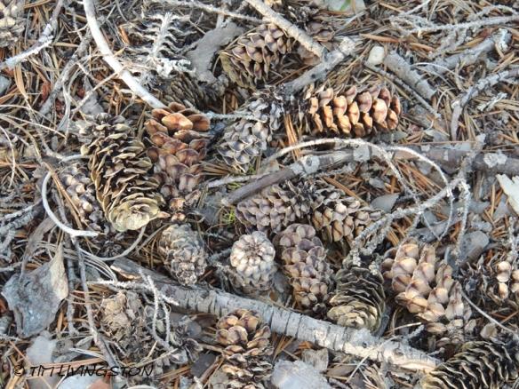 cones, mountain hemlock, hemlock, hemlock cones