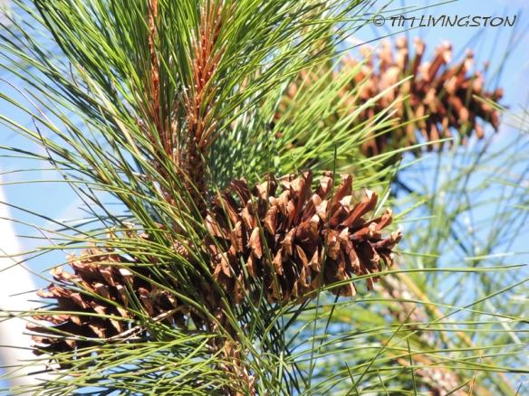 cones, pine cones, Ponerosa pine, forestry