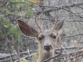 spike buck, buck, blacktail, Columbian Blacktail deer, deer, deer hunting