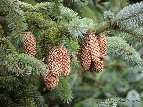 spruce, Sitka spruce, spruce cones