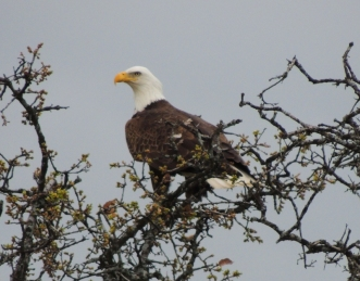 Bald Eagle, Independence Day, July 4th