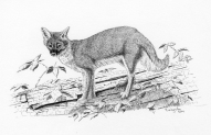 pen and ink, drawing, fox, gray fox