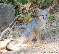 This brave little fox graciously pose for me.