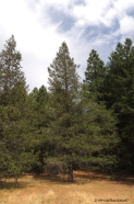 lodgepole pine, forestry, nature, photography