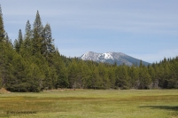 lodgepole pine, forestry, nature, photography, Magee Peak