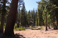 true fir, fir, red fir, white fir, forestry, Lassen National Forest, sugar pine, jeffery pine