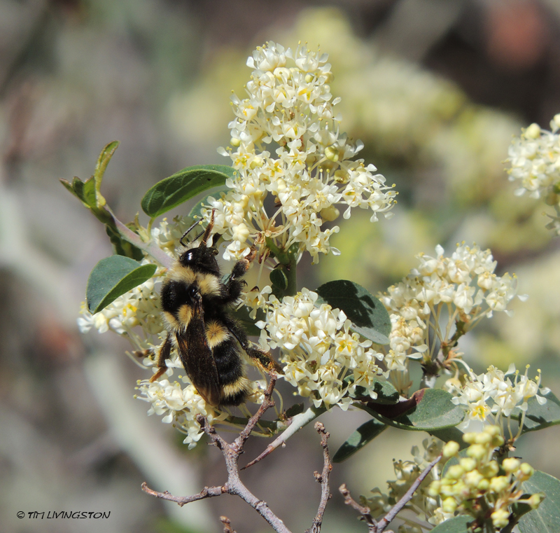 bumble bee, whitethorn