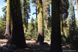true fir, fir, red fir, white fir, forestry, Lassen National Forest, sugar pine, jeffery pine. The high elevation true fir forests are among my favorite places to work during the heat of summer.