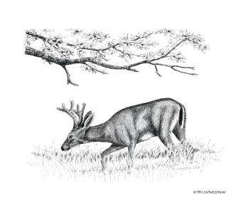 deer, black tail deer, buck, Columbia black tail deer