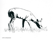 brush pen, pen and ink, deer, drawing, black tail deer