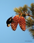 White-headed woodpecker, woodpecker, sugar pine, sugar pine cones, wildlife, nature, Sierra Nevada