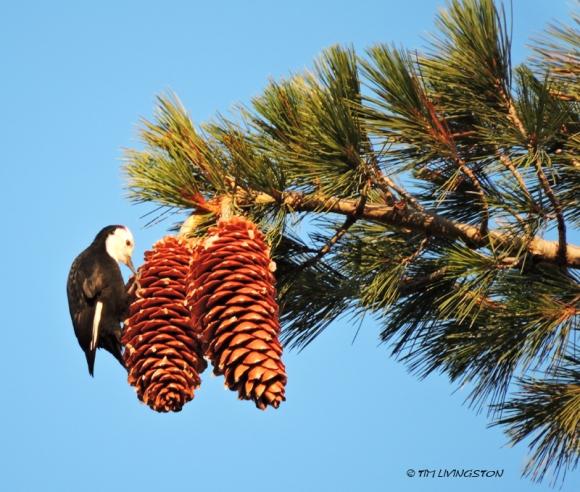 White-headed woodpecker, woodpecker, sugar pine, sugar pine cones, wildlife, nature, Sierra Nevada
