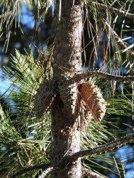 knobcone pine, pine cones, serotinus cones