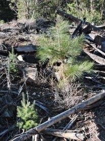 ponderosa pine, Douglas-fir, seedlings, forestry