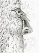 Gray sqirrel, pen, ink, pen and ink,pen & ink, drawing, wildlife