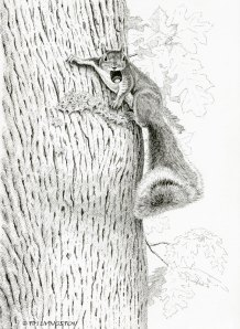 Gray sqirrel, pen, ink, pen and ink,pen & ink, drawing, wildlife
