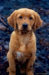 golden retriever puppy, golden puppy, puppy