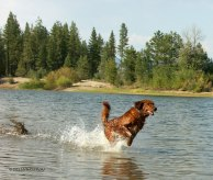 golden retriever, working dog, golden, retriever