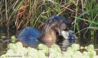 otter, bullfrog, wildlife, nature, photography