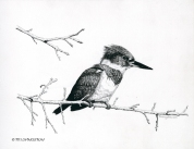 kingfisher, belted kingfisher, pen and ink, pen, drawing, pen & ink