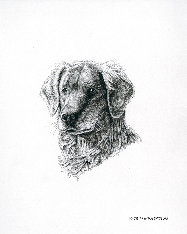 golden retriever, Blitz, pen and ink, drawing, pen, ink