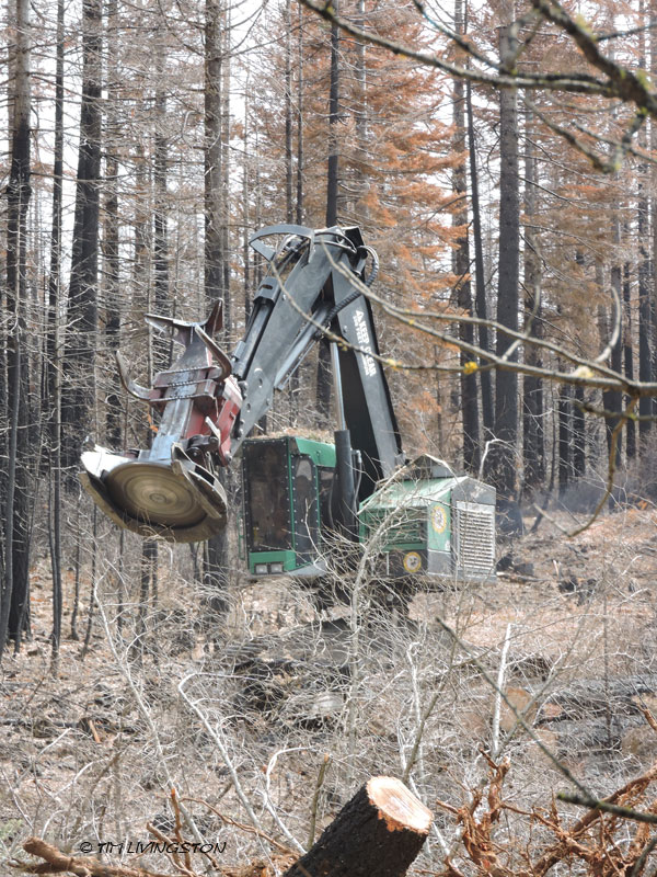 feller buncher, falling, felling, cutting, timber, loggers, logging