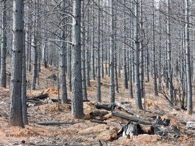 Ponderosa pine, forest, forestry, King burn