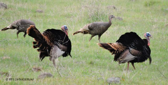Spring, wild turkey, turkey, wildlife, photography, nature