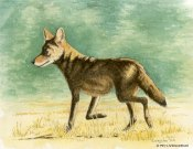 coyote, watercolor, watercolour, pen and ink, ink drawing, wildlife