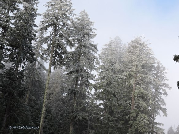Douglas-fir, old growth, freezing fog