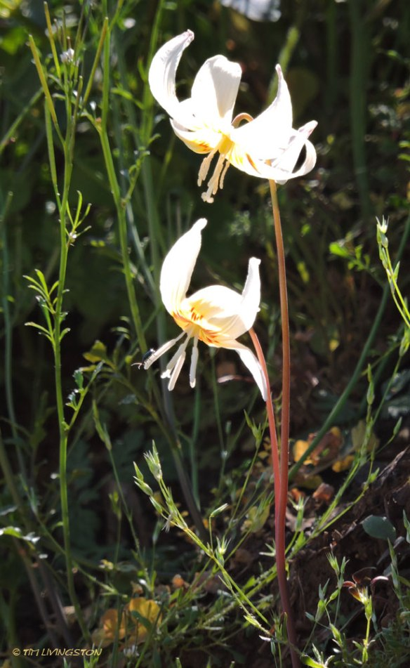 Erythronium californicum, California fawn lily, Northern California