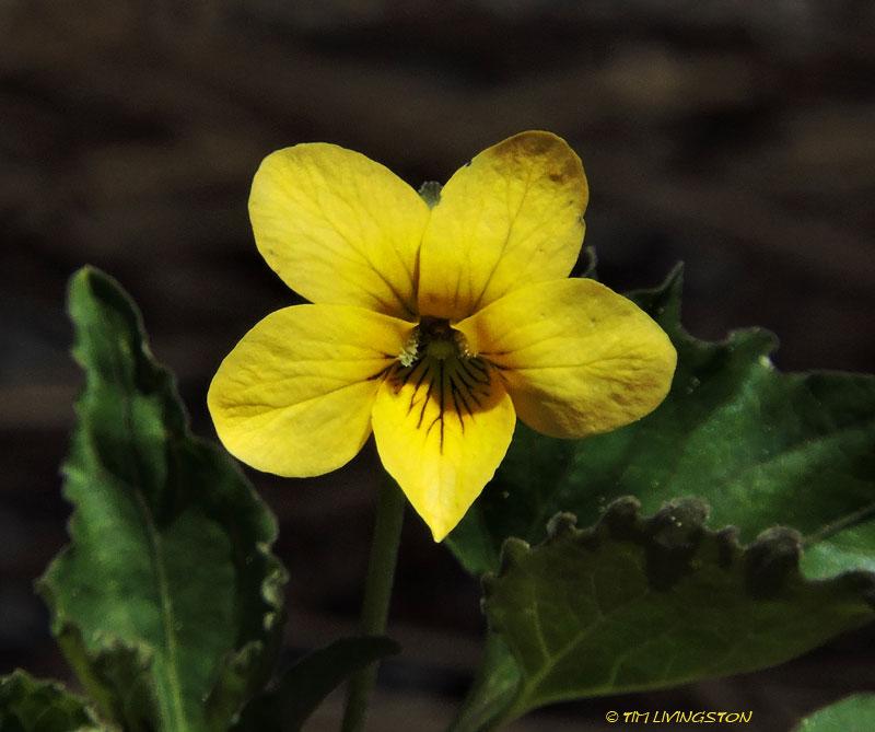 violet, yellow wood violet, viola glabella