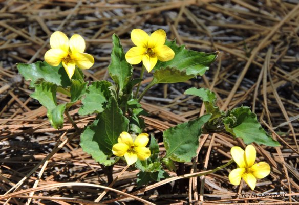 WoodViolet2