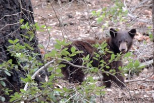 California Black Bear, Ursus americanus