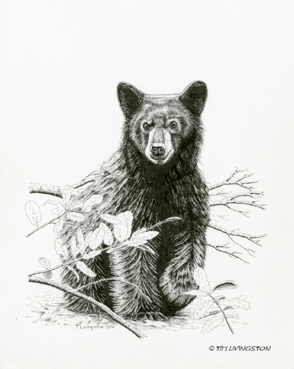 Black Bear, bear, pen and ink, pen & ink, ink drawing, drawing