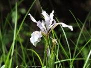 Pacific Coast Iris, Iris tenax.