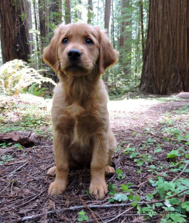 Golden retriever, puppy. retriever, forester