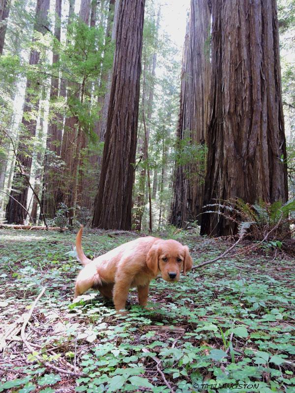 Golden retriever, puppy. retriever, forester, redwoods