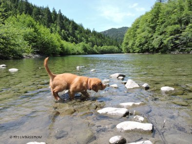 Golden retriever, puppy. retriever, forester, Mattole River