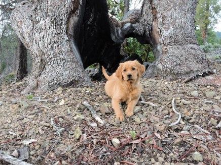 Golden retriever, puppy. retriever, forester, Pacific Madrone