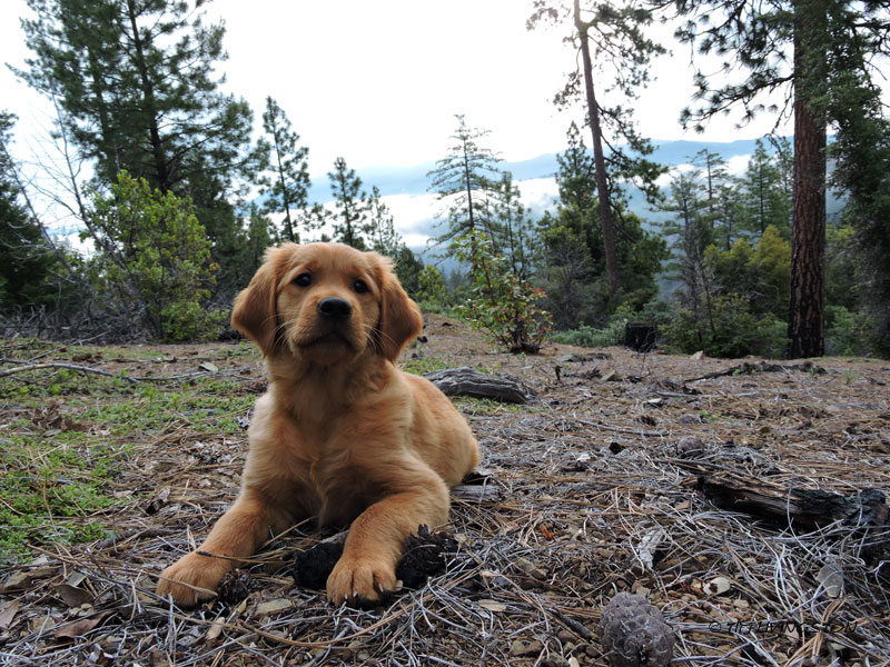golden retriever, retriever,forester, puupy