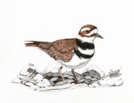 Killdeer001