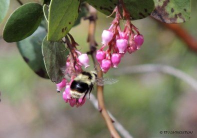 manzanita, wildflower, bumble bee